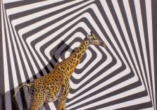 robert_lange_a_giraffe_preceeded_the_illusion_12x12_oilandvinylonpanel